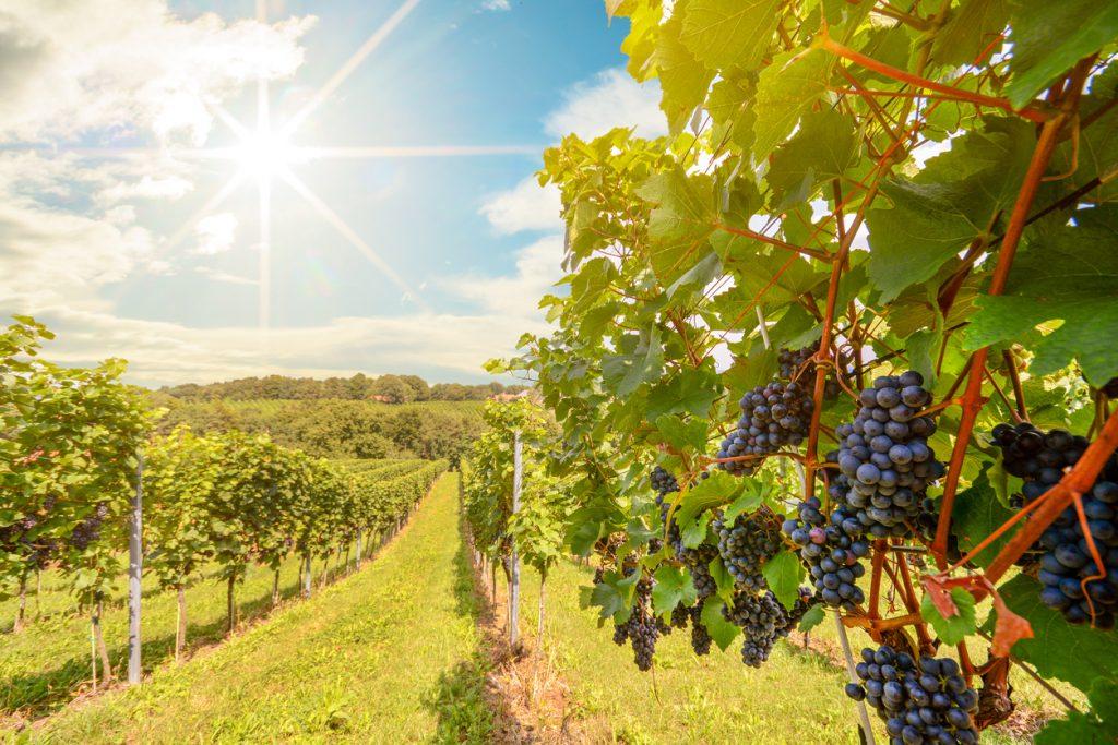 Route des vins : les vins primeurs